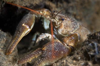 White-clawed Crayfish