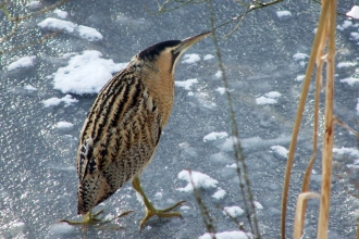 Bittern at Llyn Coed y Dinas in snow & ice