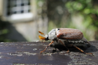 Common Cockchafer