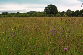 Meadow in full bloom at Montgomeryshire Wildlife Trust's Ty Brith Nature Reserve
