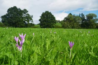 Flowering Autumn Crocus at Llanmerewig Glebe Nature Reserve