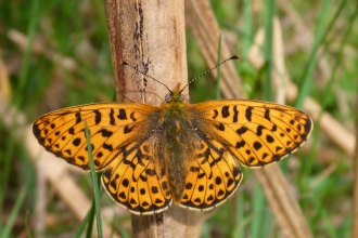 Pearl-bordered Fritillary butterfly at rest on bracken