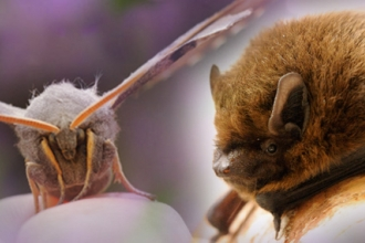 Moth & bat copyright Amy Lewis