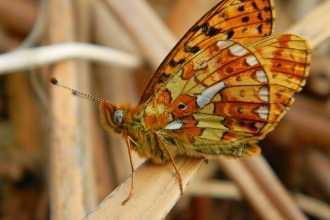 Pearl-bordered Fritillary butterfly copyright Montgomeryshire Wildlife Trust