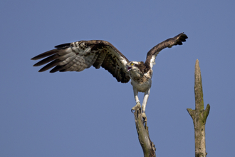 Nora, Dyfi female osprey defending her nest from intruding osprey