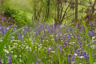 Bluebells & Greater Stitchwort at Cwm y Wydden Nature Reserve