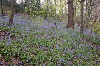 Bluebells in Deri Woods copyright MWT