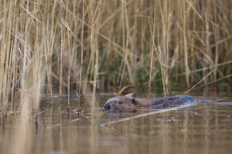 The young male beaver at Cors Dyfi getting to know his new home copyright MWT/Emyr Evans