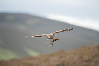 Hen Harrier female in flight carrying nesting material copyright Mark Hamblin/2020VISION