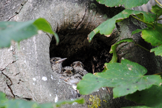 Spotted Flycatcher nestlings copyright Amy Lewis
