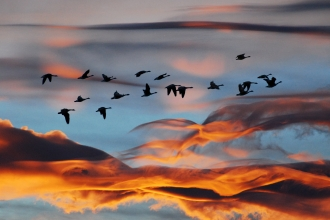 Flock of geese copyright Zsuzsanna Bird