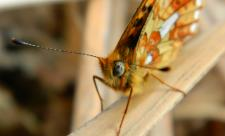 close up of Pearl-bordered Fritillary