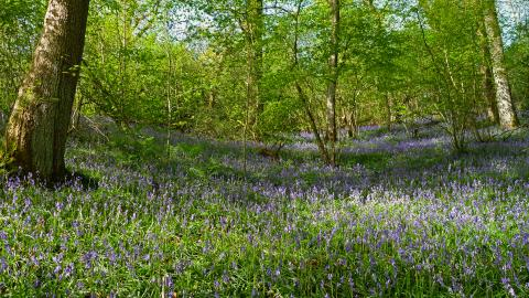 Bluebells at Coed Pendugwm copyright Tamasine Stretton