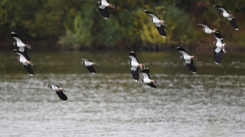 Lapwings in flight at Llyn Coed y Dinas copyright Patrick Cheshire