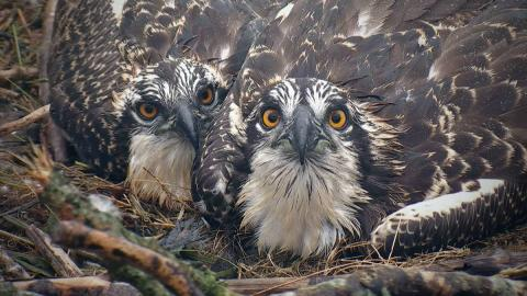 Dyfi Osprey chicks 2016