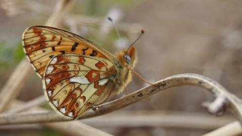 Pearl-bordered Fritillary underwing