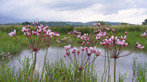 Flowering Rush at Dolydd Hafren Nature Reserve
