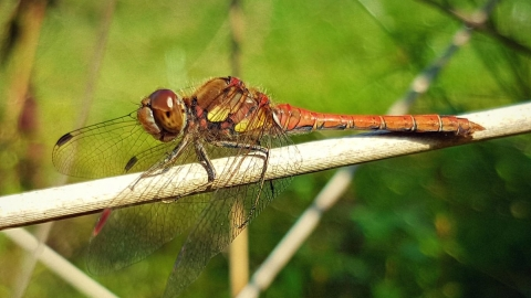 Common Darter at Llandinam Gravels