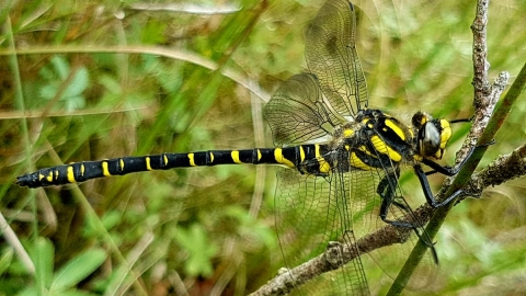 Golden-ringed Dragonfly at Llyn Mawr