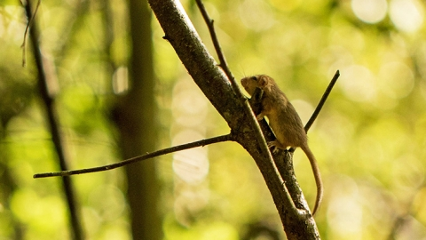 Young dormouse climbing a tree in Dolforwyn Woods Nature Reserve