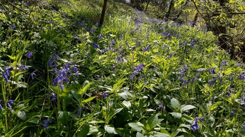 Bluebells in a sunny Dolforwyn Woods Nature Reserve