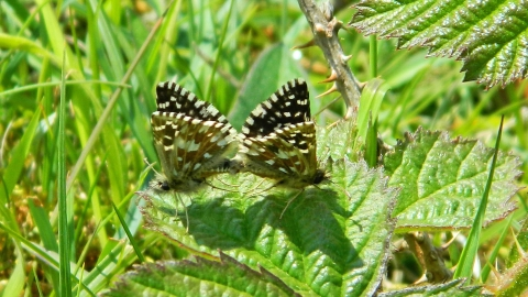Grizzled Skippers mating at Llanymynech Rocks Nature Reserve