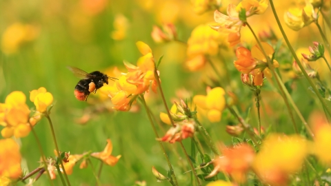 Red-tailed bumblebee