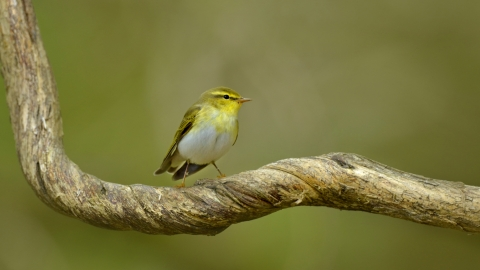 Wood Warbler (Phylloscopus sibilatrix) in sessile oak forest Wales © Andy Rouse/2020VISION
