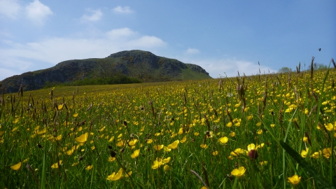 Meadow full of buttercups at Roundton Hill copyright MWT