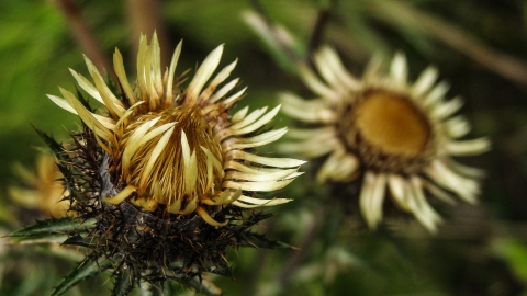 Carline Thistle; Image by summa from Pixabay