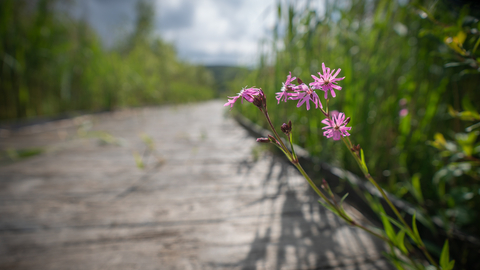 Red Campion growing out of boardwalk at Cors Dyfi Nature Reserve copyright MWT