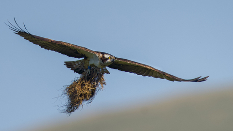 Osprey 3J carries nesting material at the Dyfi Osprey Project copyright MWT