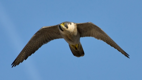 Peregrine in flight copyright Bertie Gregory/2020VISION