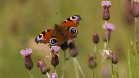 Peacock butterfly on thistle copyright Bob Coyle