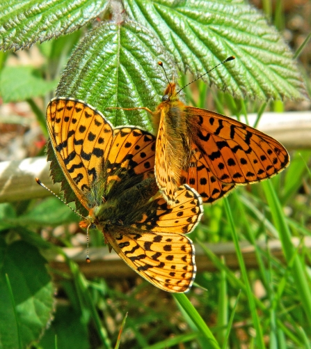 Pearl-bordered Fritillary butterfly pair copyright MWT