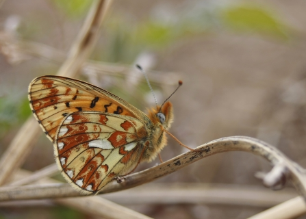 Pearl-bordered Fritillary butterfly copyright Tamasine Stretton