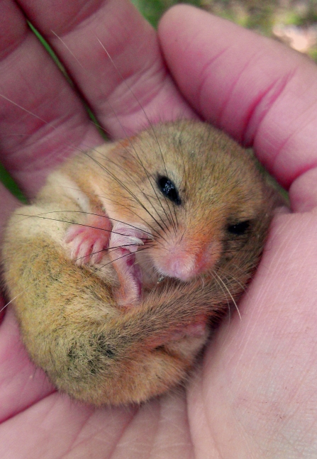 Hazel Dormouse curled up in hand copyright MWT