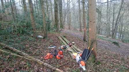 Thinning non-native trees at Deri Woods copyright Montgomeryshire Wildlife Trust