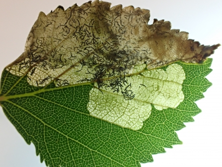 A leaf mine of Eriocrania cicatricella in a Birch leaf