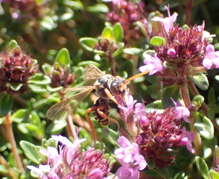 Female Gooden's Nomad Bee (Nomada goodeniana) nectaring on a creeping thyme