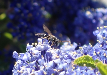 male Hairy Yellow-face bee (Hyleaus hyalinatus) on Ceanothus
