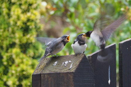Newly fledged swallows begging for food