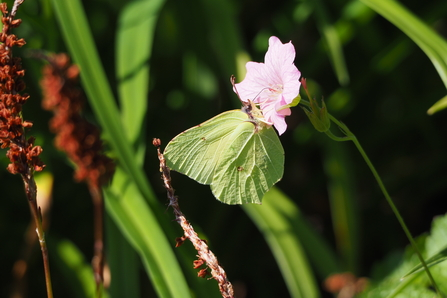 Brimstone butterfly nectaring