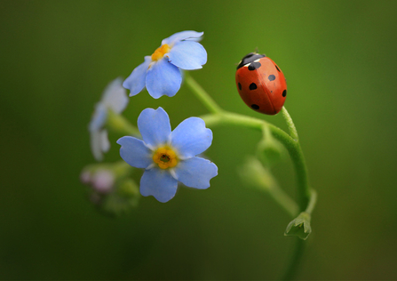 Seven-spot Ladybird on forget-me-not copyright Jon Hawkins
