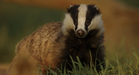Badger Meles meles Portrait of an adult badger in evening light Derbyshire, UK copyright Andrew Parkinson/2020VISION