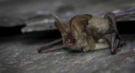 Brown Long-eared Bat copyright Tom Marshall