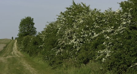 Hedgerow covered in may blossom, running next to a track copyright Chris Gomersall/2020VISION