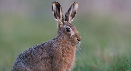 Brown Hare copyriught Donald Sutherland