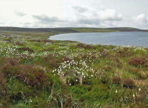 Cottongrass flowering at Glaslyn Nature Reserve