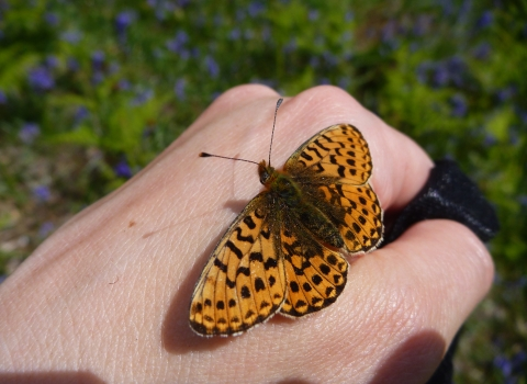 Pearl-bordered Fritillary on hand copyright MWT
